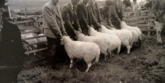 Sheep Judging, Coll Show